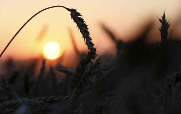 На Кубани выведен сорт пшеницы с рекордной урожайностью