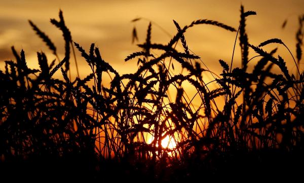 СМИ США уступили России в'пшеничной войне
